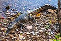 """Early morning along the Great Northern Hwy - fresh water crocodile - """"who bit of my snout"""" (13113341633).jpg"""