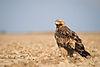 Eastern Imperial Eagle.jpg