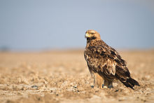 Eastern Imperial Eagle.jpg