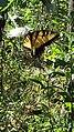 Eastern Tiger Swallowtail butterfly Eno River Hillsborough NC 103022 (30643775350).jpg