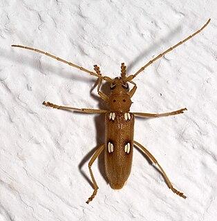 <i>Eburia</i> genus of insects