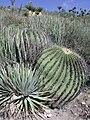 Echinocactusplatyacanthus2.JPG