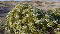 Echinophora spinosa90.jpg