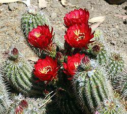 Echinopsis huascha (1).jpg
