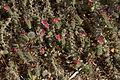Echium angustifolium A.jpg