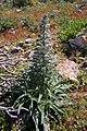 Echium italicum 0008.JPG