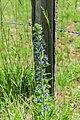 Echium vulgare in Aveyron (3).jpg
