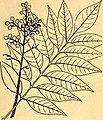 Edible and poisonous plants of the Caribbean region (1944) (20976954559).jpg