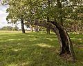 Eichenbaum Diebzig.jpg