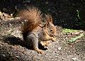 Eichhörnchen (Sciurus vulgaris) Konstantinhügel Wiener Prater 2020-07-12 h.jpg