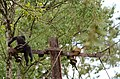 Electrocuted lion-tailed macaque infant in Valparai DSC 2569.jpg