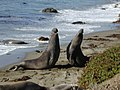 Elephant seal fight Part-1.jpg