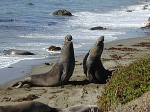Aggression - Male elephant seals fighting