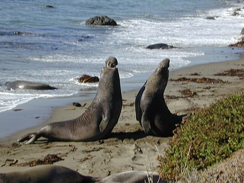 Male elephant seals fighting Elephant seal fight Part-1.jpg