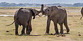 Elephants fight Amboseli (7234363084).jpg