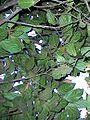 Endiandra muelleri ssp bracteata leaves.jpg