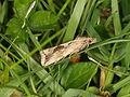 Endothenia quadrimaculana (19762080910).jpg