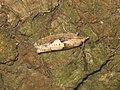 Epinotia brunnichana (41261051071).jpg