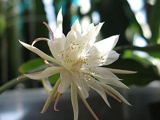 <i>Epiphyllum pumilum</i> species of plant