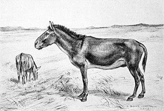 Equus scotti - Restoration