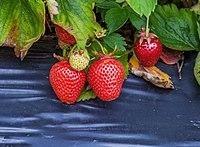Erdbeeren IMG 9997.jpg