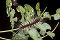 Erebidae (35506592512).jpg