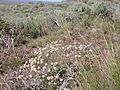 Eriogonum ovalifolium (3746348190).jpg