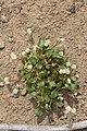 Eriogonum pyrolifolium 7739.JPG