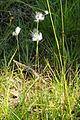 Eriophorum angustifolium - Zakraj, Bloke.jpg
