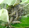 Ermine moth larvae, Yponomeuta sp. on Ornamental Euonymus - Flickr - gailhampshire.jpg
