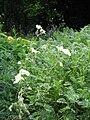 Erodium chrysanthum02.jpg