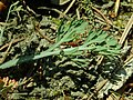 Eschscholzia californica 2019-04-16 0216.jpg
