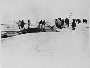 Eskimo (film) - Locals harpooning a whale from ice floes near Point Barrow, Alaska, in 1935. A whale hunt from boats was depicted in the film Eskimo.