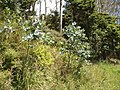 Eucalyptus globulus maidenii Labill. (AM AK294687-1).jpg