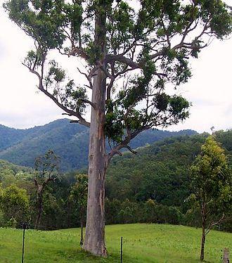 Eucalyptus propinqua - Grey Gum at Ellenborough River valley, Australia