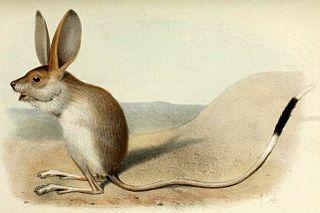 Long-eared jerboa species of mammal