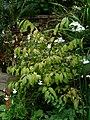 Euonymus alatus nanus - Flickr - peganum (4).jpg