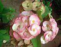 Euphorbia Flower show 11.JPG