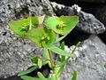 Euphorbia azorica (Flower).jpg