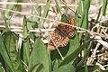 Euphydryas aurinia, Drugeon - img 21296.jpg