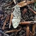 Eupithecia tantillaria 73074311.jpg