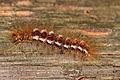 Euproctis chrysorrhoea - Burgenland 4.jpg