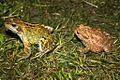 European Common Frog (Rana temporaria) & European Toad (Bufo bufo) (8618457301).jpg
