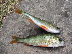 Suomalaiset Kalat