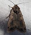 Euxoa messoria female dark.jpg