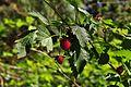 Evans Creek Preserve - 081 - berries (27127776220).jpg