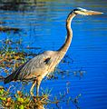 Everglades - Shark Valley - Great Blue Heron (Ardea herodias) (12259645425).jpg