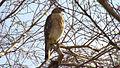 Everglades Fischadler verkl.jpg
