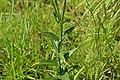 Exacum bicolor 04 Leaves.jpg