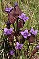 Fältgentiana - Gentiana campestris0165 - Flickr - Ragnhild & Neil Crawford.jpg
